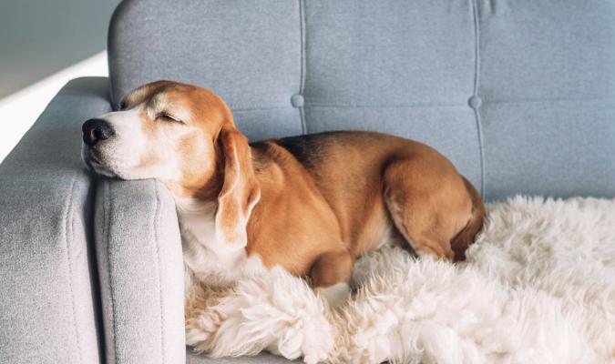 Dog Asleep On Stain Resistance Upholstery Fabric Sofa