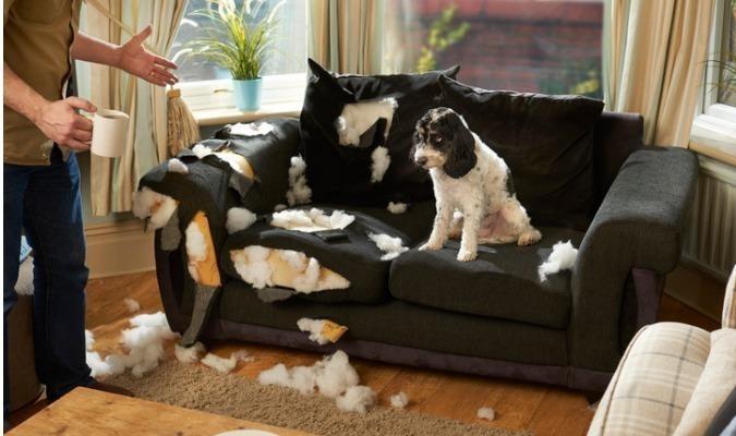 Naughty dog sitting on chewed up sofa