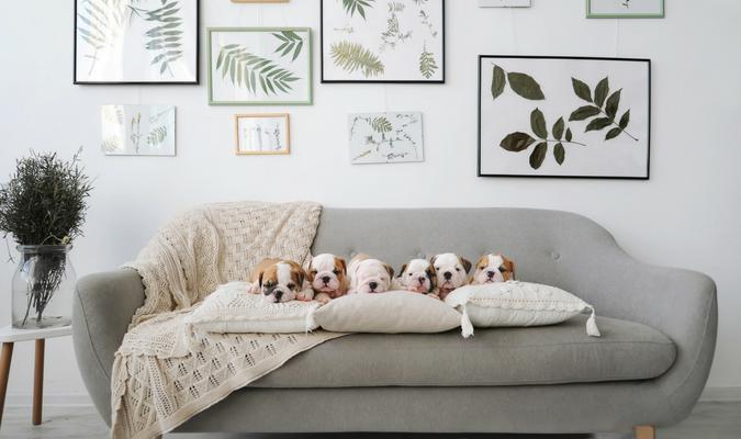 : Bulldog puppies on grey fabric sofa