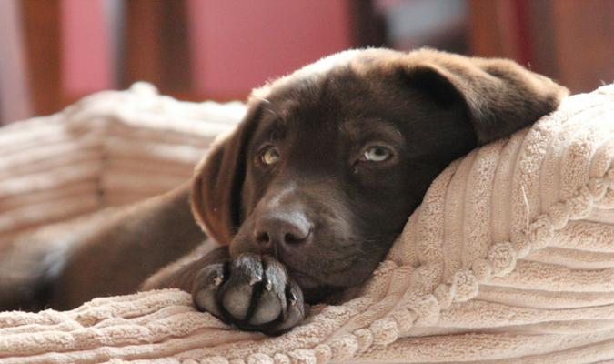 Labrador lying in dog bed
