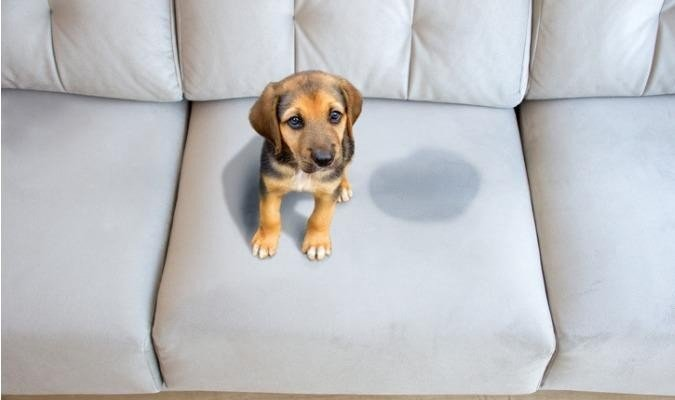 Dog Urinated On A Grey Couch